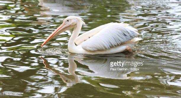 pelican - jurong bird park stock pictures, royalty-free photos & images
