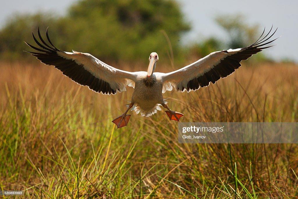 Pelican : Stock Photo