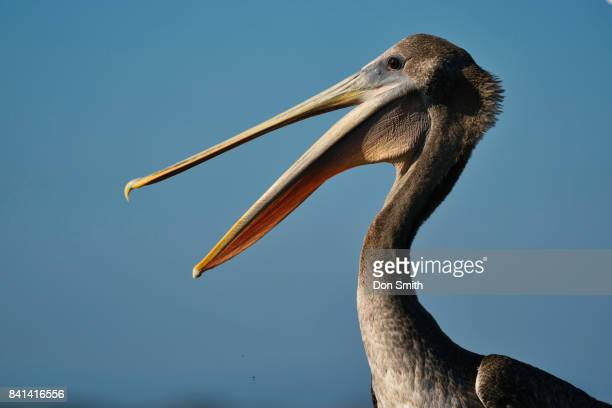 pelican - don smith stock pictures, royalty-free photos & images