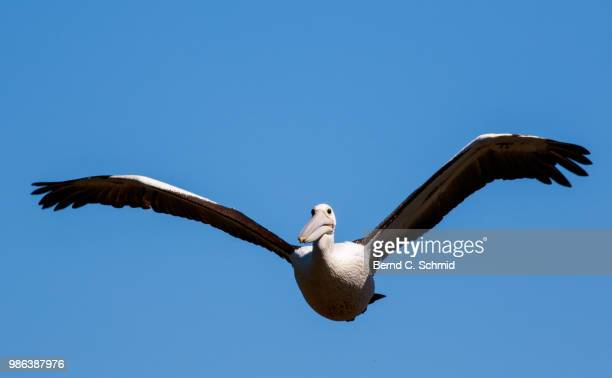 pelican - spread wings stock pictures, royalty-free photos & images