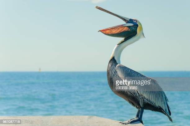 pelican - pelicans stock pictures, royalty-free photos & images