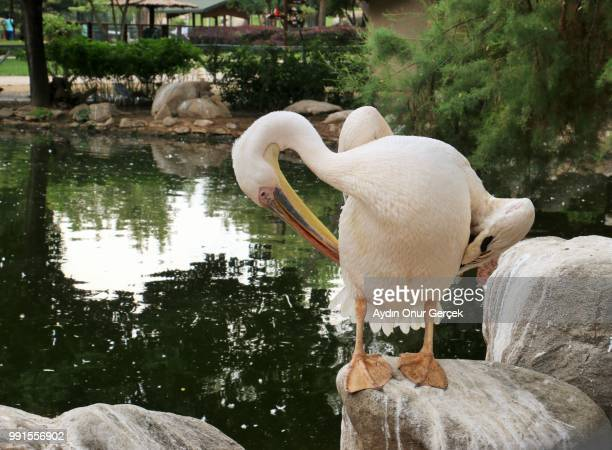 pelican - freshwater bird stock photos and pictures