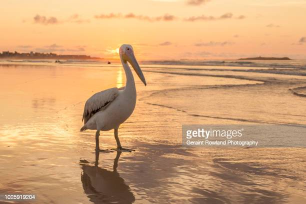 pelican portrait, west africa - senegal fotografías e imágenes de stock