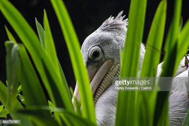 pelican seen through grass - harley bird stock pictures, royalty-free photos & images