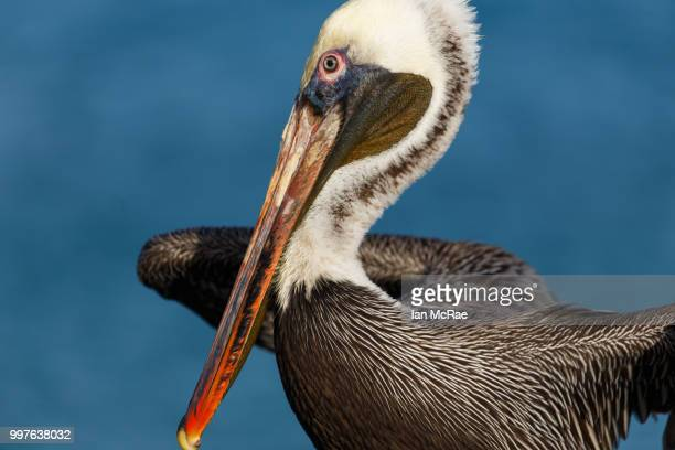 pelican series: air drying - brown pelican stock photos and pictures