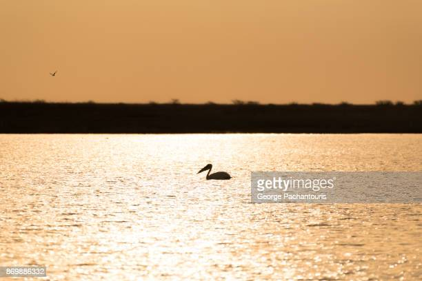 Pelican silhouette in the sunset