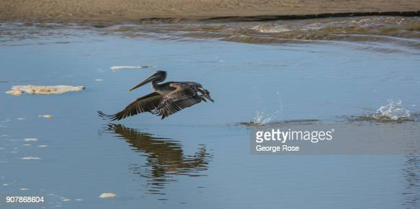 A pelican skims along the water at Pismo State Beach on January 17 in Pismo Beach California With its close proximity to Southern California this...