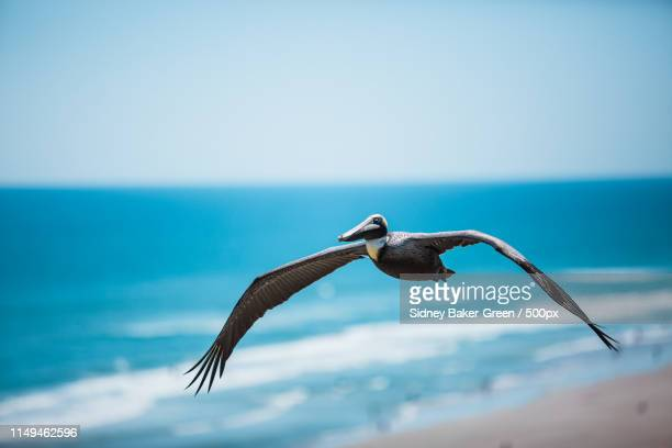 Pelican Soaring Over Daytona Beach