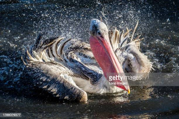 Pelican splashing water to clean its feathers.