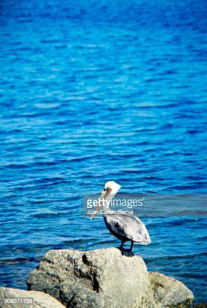Pelican standing on a rock next to the ocean in Baja California, Mexico.