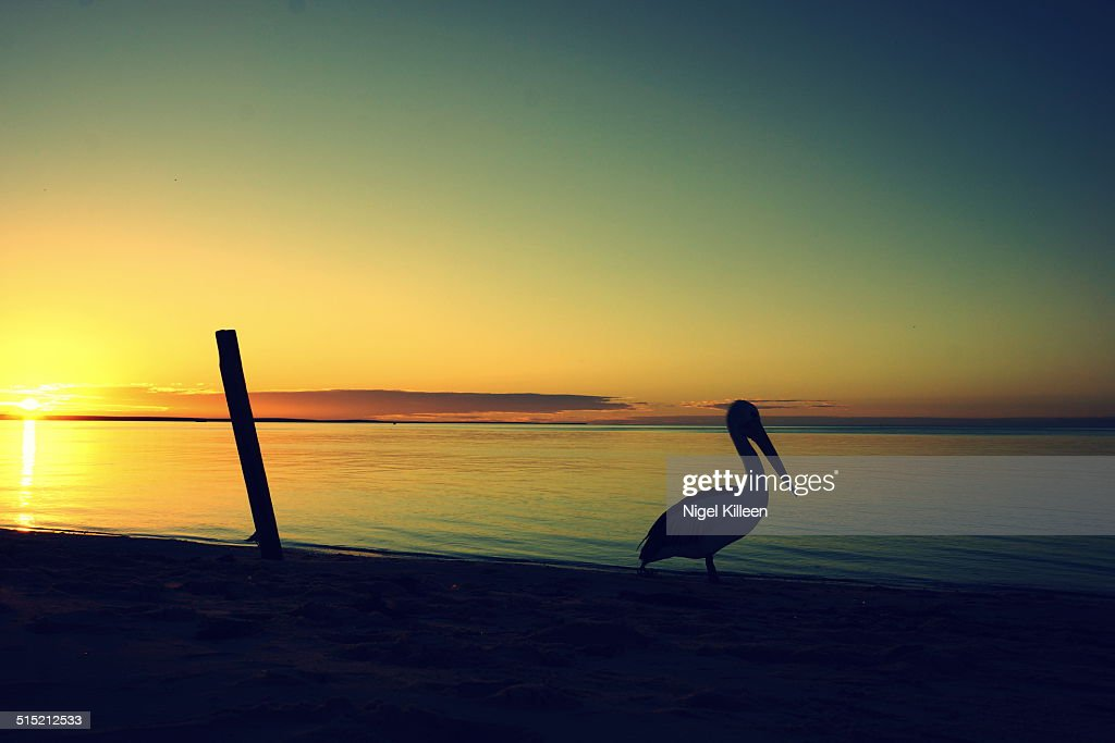 Pelican stands beside calm sea at sunset : Stock-Foto