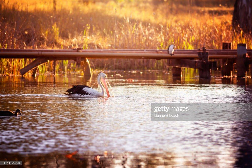 Pelican Sunset : Stock Photo
