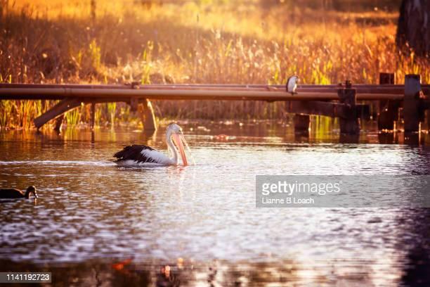 pelican sunset - lianne loach - fotografias e filmes do acervo