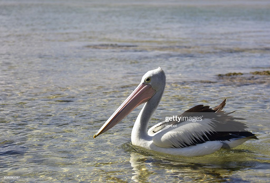 Pelican Swimming at The Entrance NSW : Stock Photo