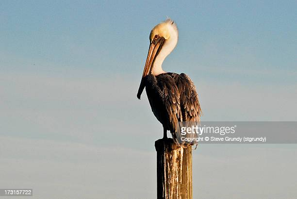 Pelican taking in the sunset