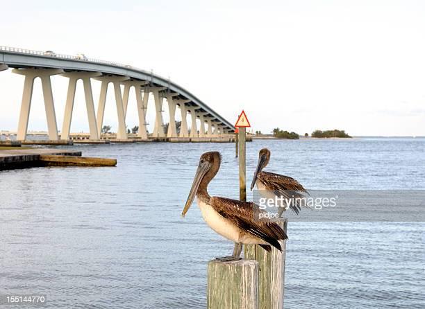 Pelican watch at Sanibel bridge Florida USA