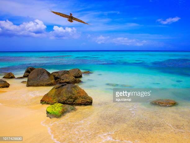 pelican water bird flying over beach, montego bay - jamaica, caribbean sea - montego bay stock pictures, royalty-free photos & images