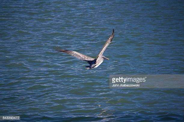Pelican with wings spread in flight