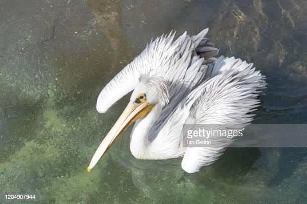 pelican_1 - ian gwinn fotografías e imágenes de stock