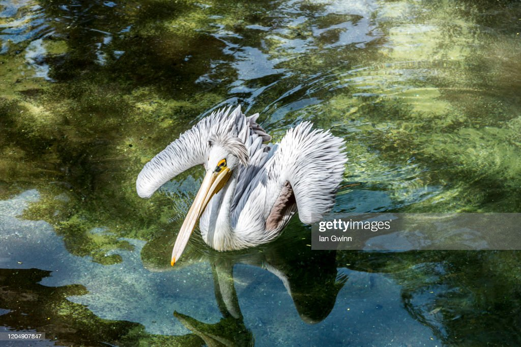 Pelican_2 : Stock Photo