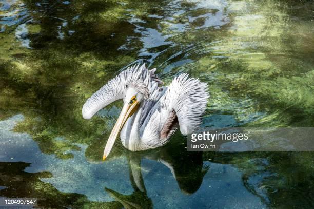 pelican_2 - ian gwinn fotografías e imágenes de stock