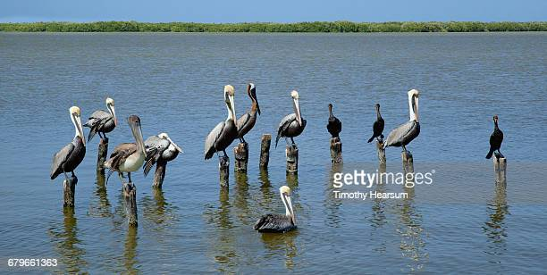 pelicans and anhinga on pilings in the water - timothy hearsum stock pictures, royalty-free photos & images