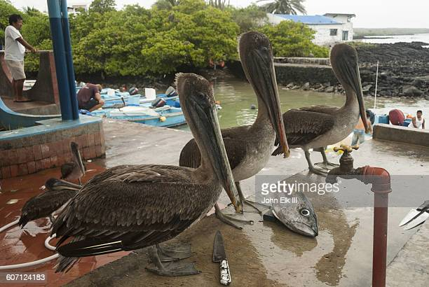 pelicans and fish head - puerto ayora stock pictures, royalty-free photos & images