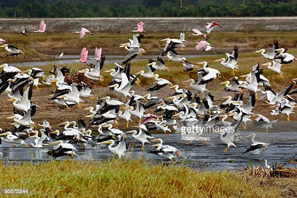 Pelicans and Roseate Spoonbills in flight