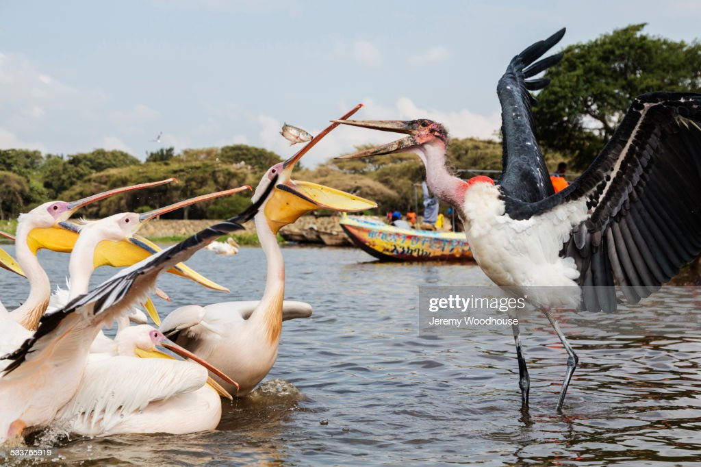 Pelicans and storks catching fish in remote lake : Foto stock