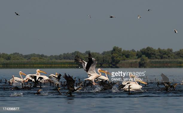 Pelicans and various water birds are pictured on the lake Fortuna in the heart of the Danube Delta on July 22 2013 The Danube delta hosts over 300...