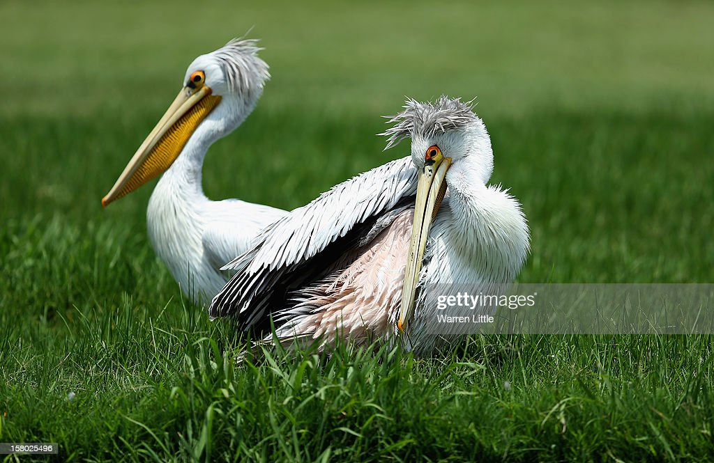 Pelicans are pictured during the second round of The Nelson Mandela Championship presented by ISPS Handa at Royal Durban Golf Club on December 9, 2012 in Durban, South Africa.