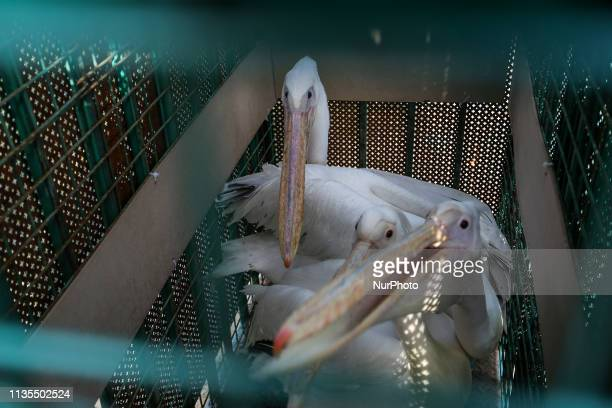 Pelicans are pictured in a cage at a zoo in Rafah in the southern Gaza Strip during the evacuation by members of the international animal welfare...