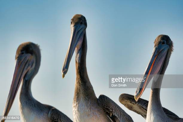 pelicans at rest - don smith stock pictures, royalty-free photos & images