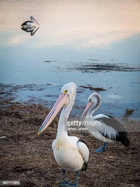 Pelicans at Shoalhaven, Australia
