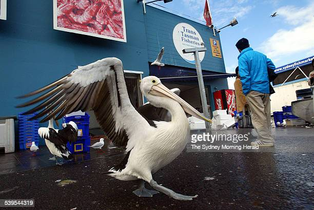 Pelicans at the Sydney Fish Markets on 28 June 2005 A new food and safety standard covering the production and processing of seafood was launched at...