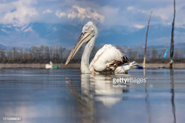 Pelicans birds as seen floating in the water in Kerkini lake in Serres region, Macedonia, Greece. The White Pelican bird is Dalmatian Pelican,...