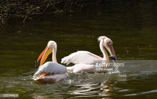 Pelicans catching fish thrown by a park staff member in St James's Park, London. Six great white pelicans, free to come and go as they please, live...