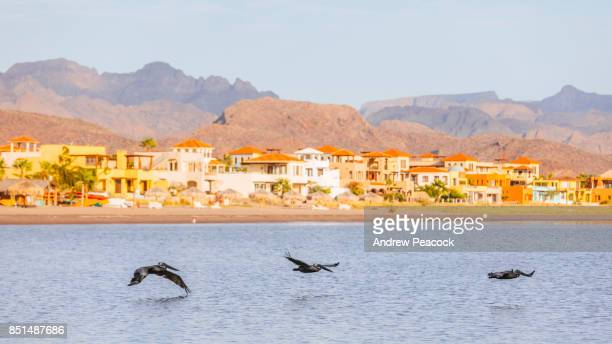 Pelicans fly over the water in Loreto Bay.