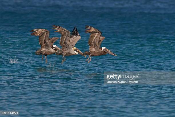 pelicans flying over sea - three animals stock pictures, royalty-free photos & images