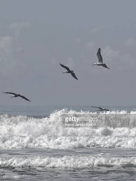 pelicans flying over the ocean - naomi jarvis stock pictures, royalty-free photos & images