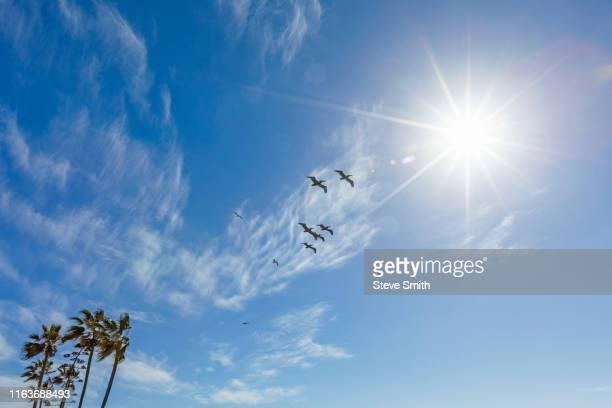 pelicans flying under sunshine - 水鳥 ストックフォトと画像