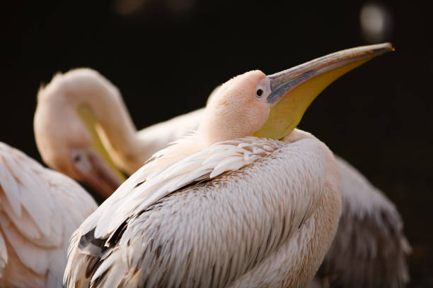 GBR: Pelicans In St James's Park In London