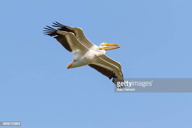 Pelicans in extreme close flight