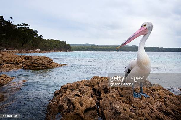 Pelicans in Jervis Bay National Park Booderee