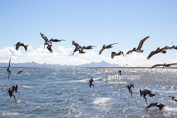 Pelicans in Loreto, Mexico