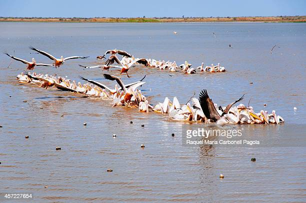Pelicans in Oiseaux de Djoudj National Park