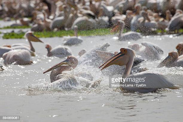 Pelicans In River