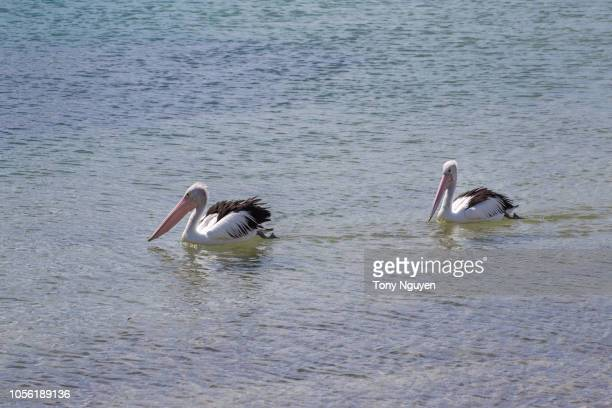 pelicans in san remo, victoria, australia. one of attractions in philip island. - sub antarctic islands stock photos and pictures