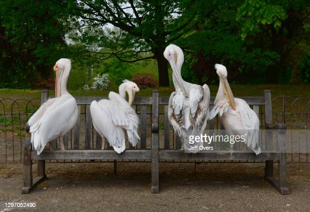 Pelicans in St James's Park, London, England on the 27th April 2020.