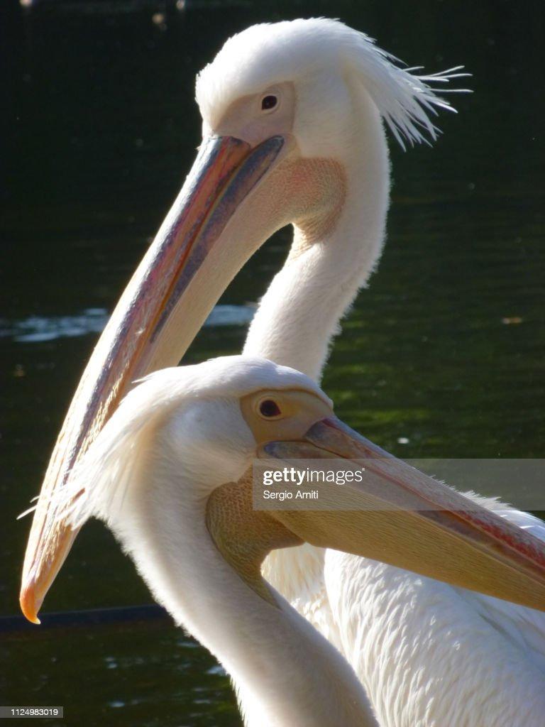 Pelicans in St James's Park, London : Stock Photo